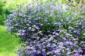 stock photo of lobelia  - Beautiful blue lobelia blooming in the garden - JPG
