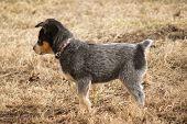 picture of heeler  - an alert australian blue heeler puppy explores the world - JPG
