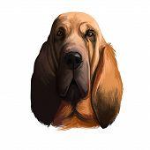 Bloodhound, Chien De Saint-hubert, St. Hubert Hound Dog Digital Art Illustration Isolated On White B poster