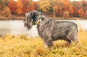 Miniature Schnauzer Dog For A Walk In The Autumn Park. Dog With A Haircut For A Walk. . Dog On A Wal poster