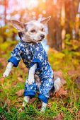 Yorkshire Terrier Dog For A Walk In The Autumn Park. Dog With A Haircut For A Walk. Dog In Overalls. poster