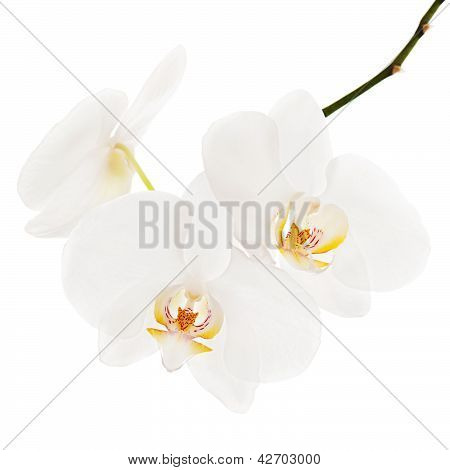 White Ortchid Isolated On White Background