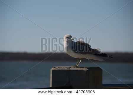 Posando de gaivota