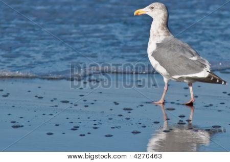 Seagull In Wading in Ocean Tide Water
