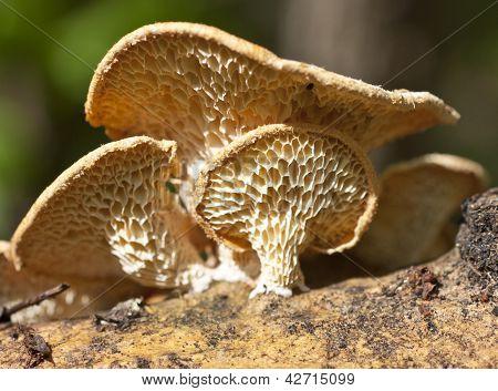 Mushrooms-parasites.