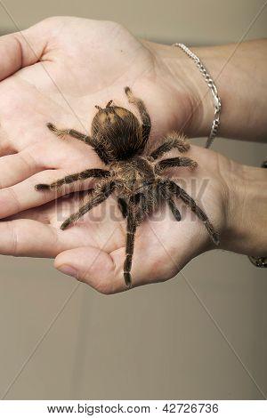 Arachnid Monster - Brown Spider Wandering