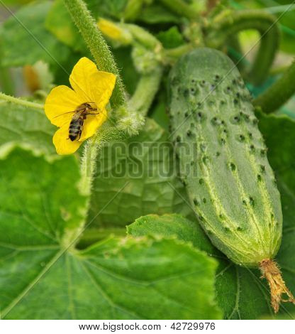Biene in der Blüte der Gurke