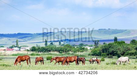 Herd of horses on the field.