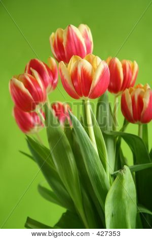 Tulips Against Green Background