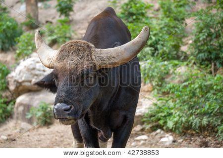 Portrait Of Gaur Or Bos Gaurus