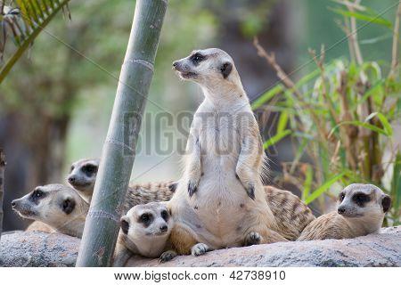 Group Of Slender-tailed Meerkat