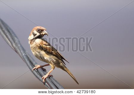 Sparrow With Its Food