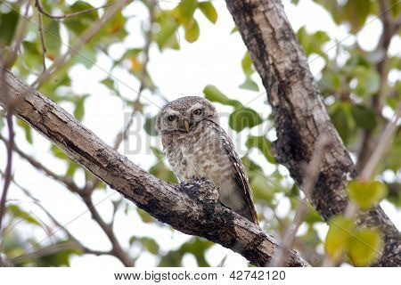 Spotted owlet Athene brama