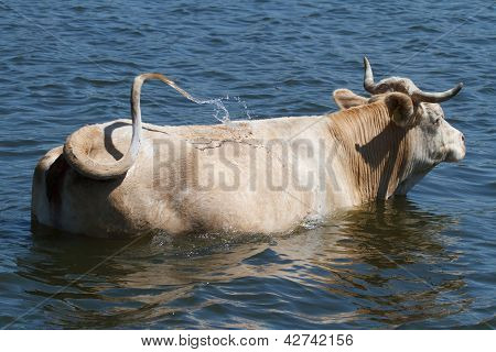 the cow is bathed in the water