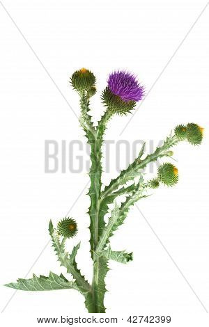 Thistle isolated on white background