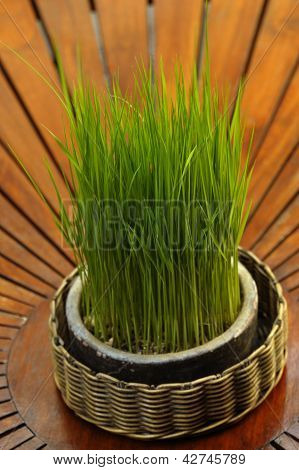 Rice Seedling