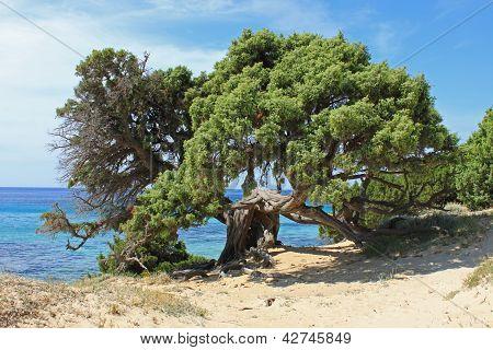 maritime pine on the beach