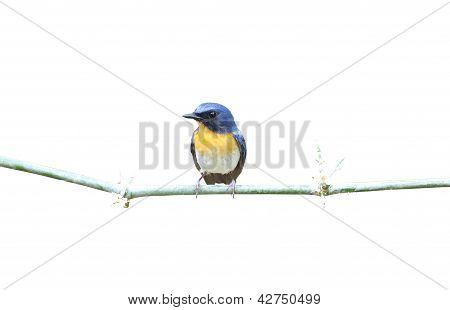 Tickell's Blue Flycatcher Cyornis tickelliae