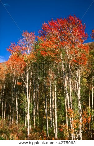 Idaho Aspen - Soldier Mountain