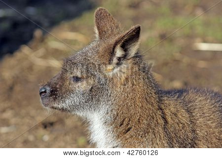 young wallaby