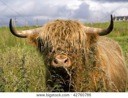 Scotland Cow In Highlands