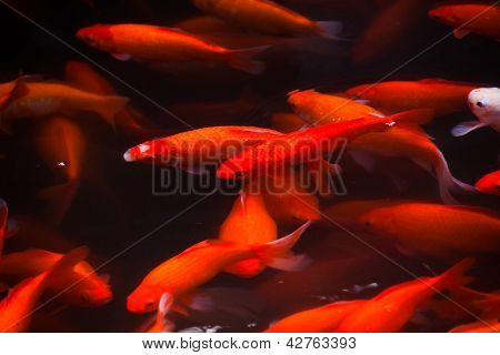 Golden Carp Swimming West Lake Hangzhou Zhejiang China