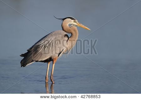 Great Blue Heron - Fort Myers Beach, Florida