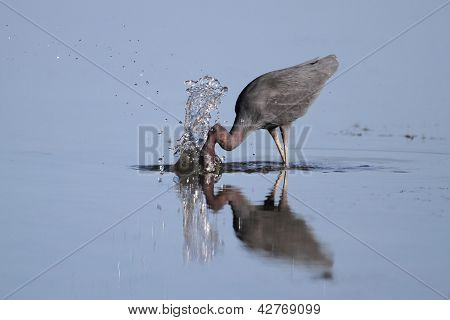 Little Blue Heron Striking At A Fish