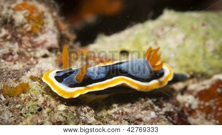 A beautiful Elisabeth's chromodoris
