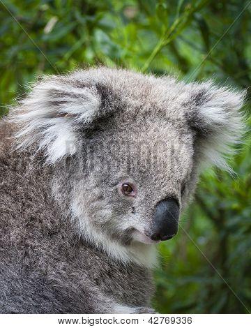 Koala looking back