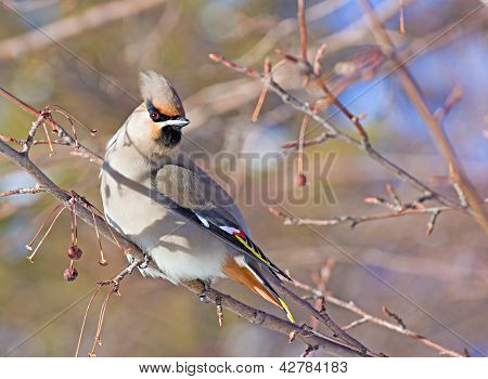 Bohemian Waxwing Sitting On The Branch