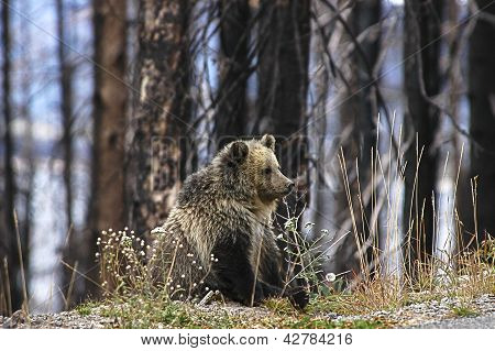 Young Grizzly Bear Cub