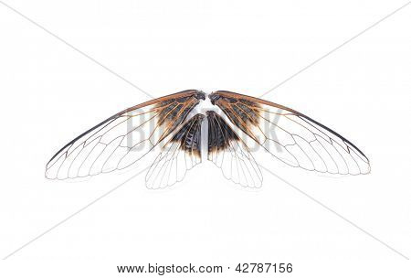 Cicada patagia isolated on white background
