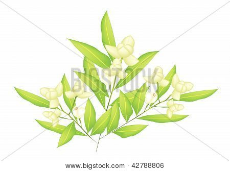 An Illustration Of Beautiful Ylang Ylang Flowers