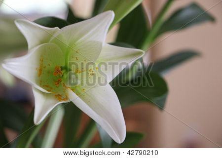 Fresh White Lily With Pollen