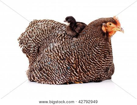Cute Black Baby Chicken Sitting on Top of Mother Hen