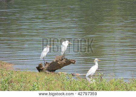 Three white egrets
