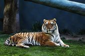 stock photo of tiger eye  - Bengal Tiger Laying on Grass - JPG