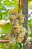 foto of gleaning  - Bunch of green grape on the branch - JPG