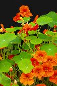 stock photo of nasturtium  - Beautiful nasturtium flowers close up on the black background - JPG