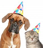 image of dog birthday  - Boxer dog and Scottish fold cat in party cap on white background - JPG