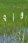 "image of cattail  - ""Cattails Near a Pond"" Cattail Typha latifolla Images around a small pond found off of Buckhorn Road just East of Roseburg OR - JPG"