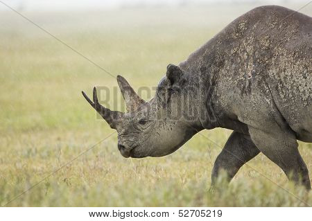 Black Rhino (diceros Bicornis) In Tanzania