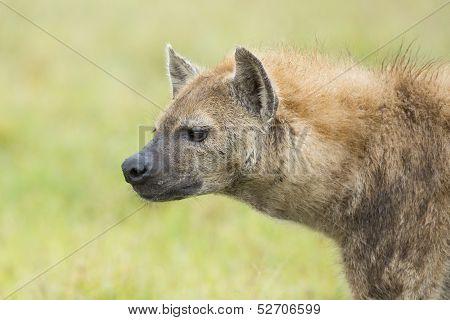 Spotted Hyaena (crocuta Crocuta) Tanzania