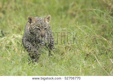 Young Leopard Cub, (panthera Pardus) Tanzania
