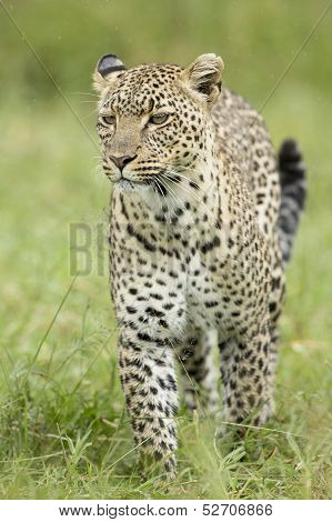 Female African Leopard (panthera Pardus) Serengeti, Tanzania