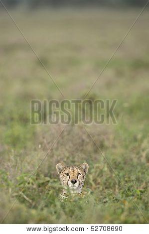 Female Cheetah (acinonyx Jubatus) In Tanzania