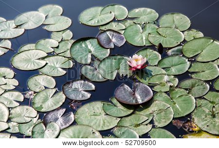 Lilly Pads And Water Lilly