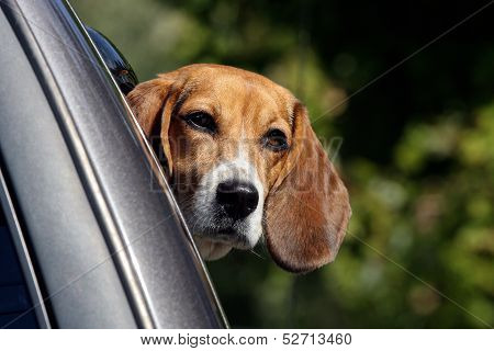 Beagle Looking from Car Window