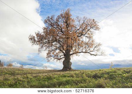 Bicentennial Oak Tree
